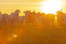Vacas E Bezerros Da Raça Nelore No Pasto Ao Por Do Sol