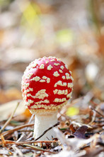 Red Fly Agaric (amanita Muscar...