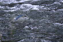 Little Blue Heron Flying Over River