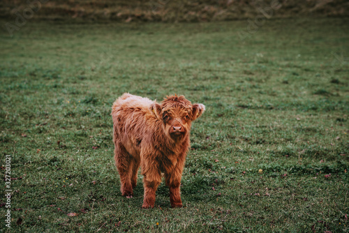 Little brown Aberdeen Angus young calf on a green meadow looks into the frame Canvas Print