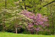 Blooming Eastern Redbud Trees ...