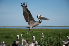 Adult Pelican Landing On Ground With Wetlands And Open Blue Sky In Background