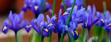 Colorful Vivid Fresh Iris Flowerscape Background, Selective Focus, Banner