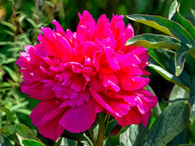 Peony Adolphe Rousseau In Brit...