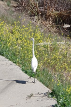 A Tall White Great Egret In The Southern California Foothills Landscape