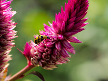 Cucumber Beetle On A Pink Flower