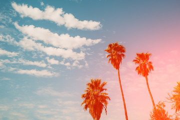 Palm trees against a sunset sky. Gradient color. Silhouette of tall palm trees. Tropical evening landscape. Diagonal purple-pink gradient color. Beautiful tropic nature