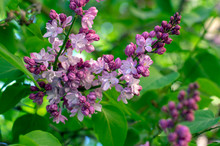 Syringa Vulgaris Violet Purple Flowering Bush, Groups Of Scented Flowers On Branches In Bloom, Common Wild Lilac Tree
