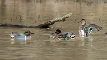 Green Winged Teal Duck On The ...