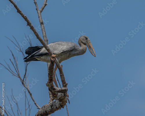 Fényképezés The Asian Openbill Stork (Anastomus oscitans) perched on a branch is a large wading bird in the stork family found mainly in the Indian subcontinent and Southeast Asia