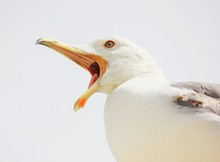 Portrait Of A Seagull With Wid...