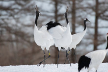 Red-crowned Cranes Whooping In...