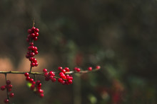 Small Red Berries On Branches