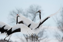 Red-crowned Cranes Dancing In ...
