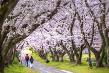 桜のアーチ 春のイメ...