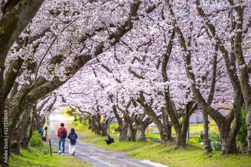 桜のアーチ 春のイメージ