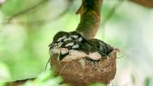 Three Australian Magpie Lark Babies In A Nest