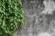Green Ivy With Vintage Concret...