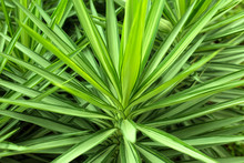 Close Up Yucca Plant. Green Gr...