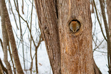 Red Squirrel Emerges From Hole In Hollow Tree