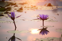 Purple Lotus Flowers Are Blooming With Sunset