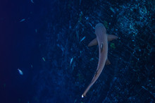 White Tipped Reef Sharks At Roca Partida, Revillagigedo, Mexico.
