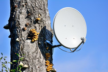 Satellite Dish On A Tree In Th...