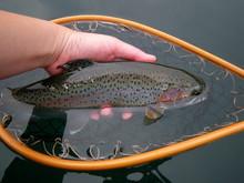 Rainbow Trout ニジマス