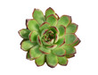 Top view of Echeveria agavoides x pulidonis , red margin green succulent plant white background