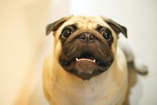 Big White Pug With Wrinkled Fa...