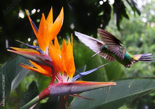 Obraz Flying Hummingbird at a Strelitzia flower - fototapety do salonu