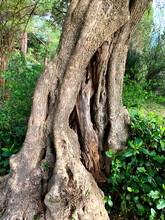 Old Knotty Gnarled Olive Tree Trunk With Hollows And Rough Bark.  Closeup, Vertical.
