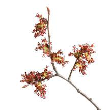 Macro Of Elm Flowers
