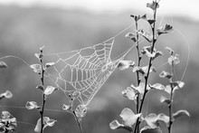 Spider Web Between Small Branches Covered In Small Water Droplets During Foggy Weather In Black And White