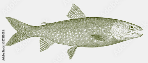 Lake trout, salvelinus namaycush, a freshwater fish from North America in side v Fototapete