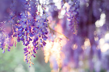 Spring Flowers Wisteria Blooming In Sunset Garden. Beautiful Flowering Trellis Blossom In Chinese And Japanese Park.