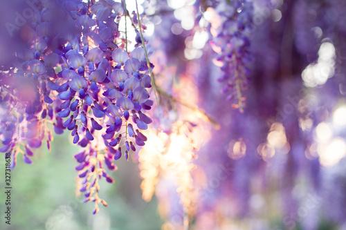 Spring flowers wisteria blooming in sunset garden Fototapeta