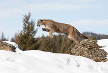 Cougar Or Mountain Lion (Puma ...