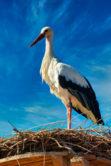 white stork in front of blue sky on nest