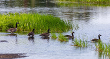 Gaggle Of Canada Geese Going F...