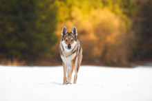 Wolfdog In Winter Time, Snow, ...