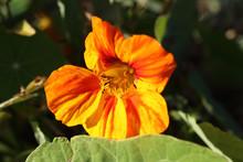Orange Nasturtium Against The Light