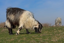 Real Wild Goats Graze In The A...