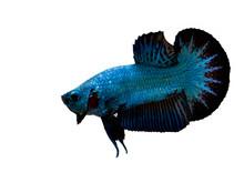 Samurai Betta Fish Blue And Bl...