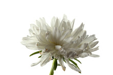 White Aster Isolated On White