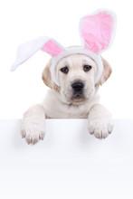 Cute Easter Labrador Puppy Dog...