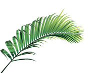 Tropical Palm Leaves Foliage Plant, Green Palm Frond Isolated On White Background With Clipping Path.