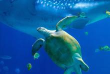A Sea Turtle Swimming In An Aq...