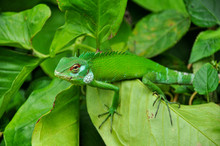 A Green Chameleon Sits On Green Leaves In The Jungle Of Sri Lanka.