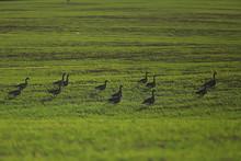 Geese Spring Migratory Birds I...